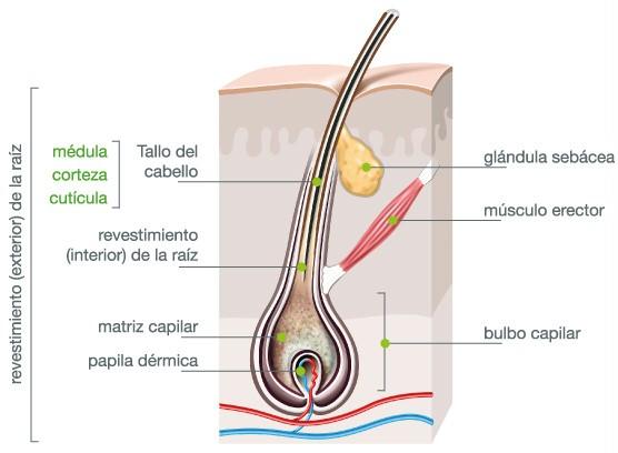 estructura-del-pelo